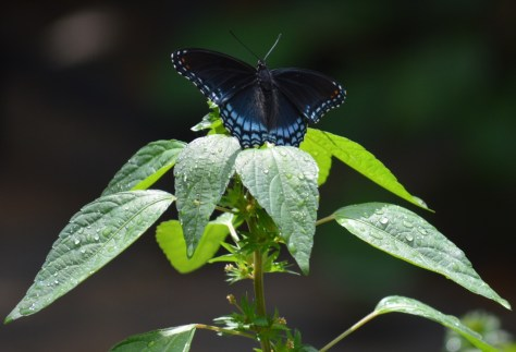 Image of three-seeded mercury and red-spotted purple