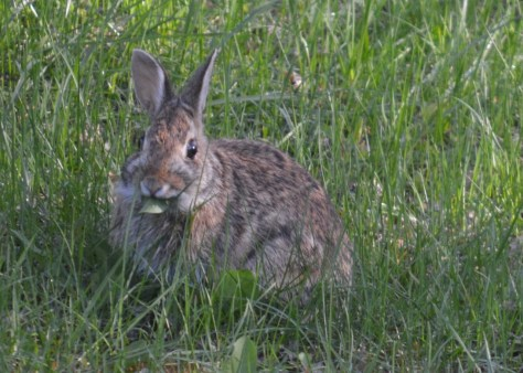 Image of rabbit in grass
