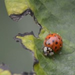 Image of Asian ladybug