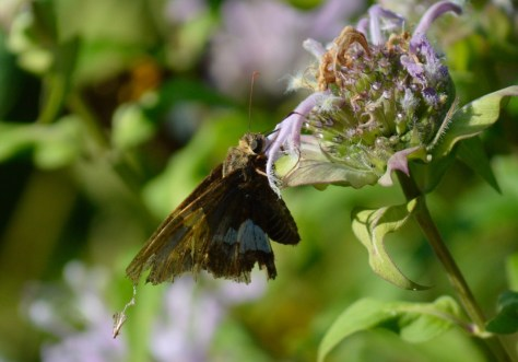 Image of silver spotted skipper on wild bergamot