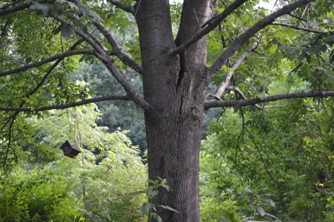 Image of splitting ash tree