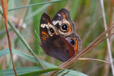 Image of common buckeye in meadow