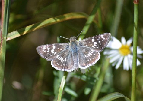 Image of common checkered skipper