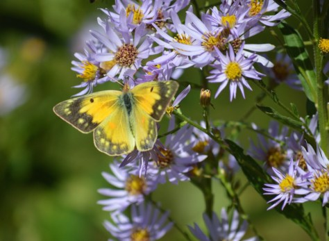 Image of orange sulphur on aster