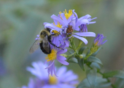 Image of bumblebee on smooth aster