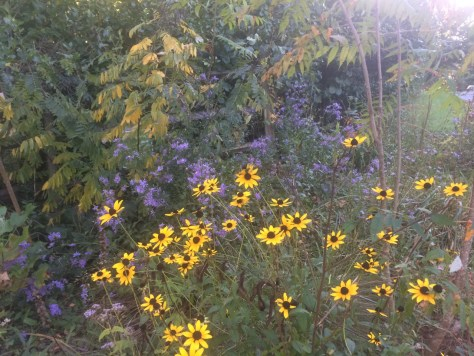Image of smooth asters and black-eyed Susans