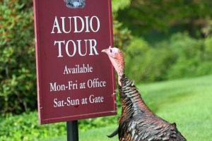 Image of wild turkey at Mount Auburn