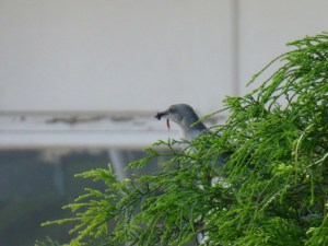 Image of mockingbird parent with food for babies