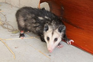 Image of opossum with leg wounded in fencing