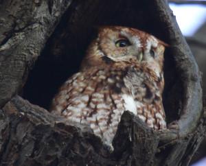 Image of screech owl