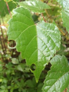 leafcutter-grapevine-in-nancy-garden