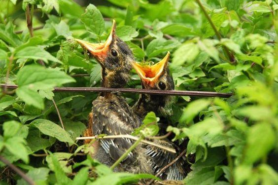 babybirds_lisataft