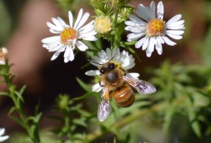 Image of honeybee on frost aster