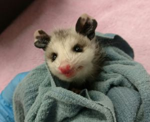 Image of opossum photo by the HSUS
