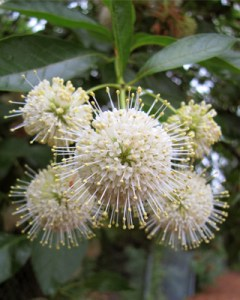 Image of buttonbush