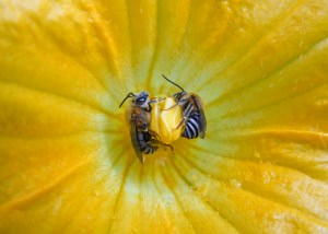 Image of squash bees by Megan Leach