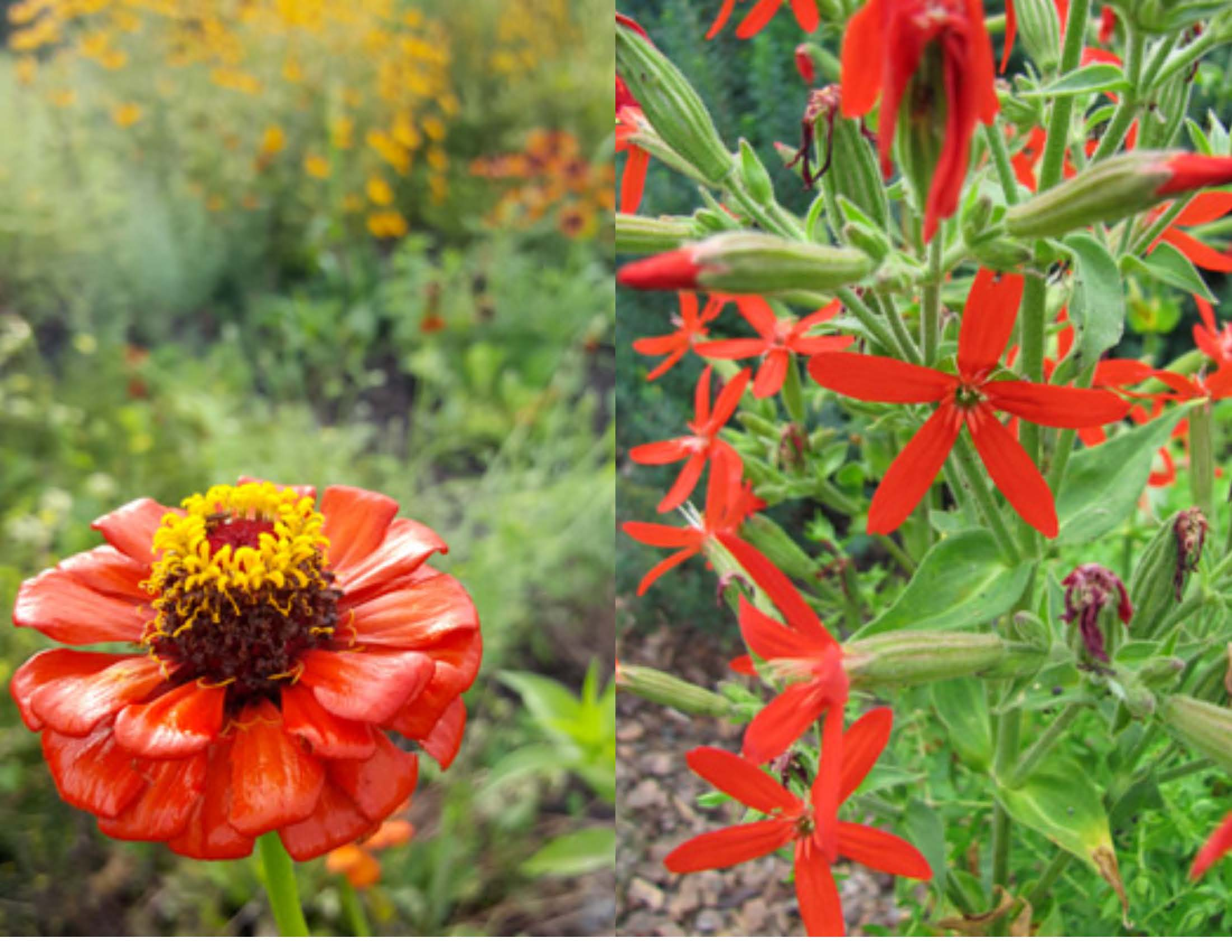 Zinnia and royal catchfly_Paige Nugent