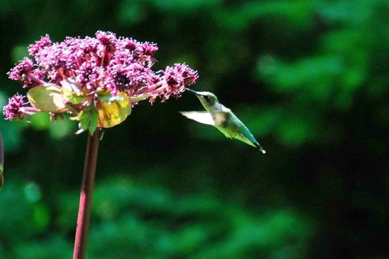 hummingbird-in-angelica_lisataft