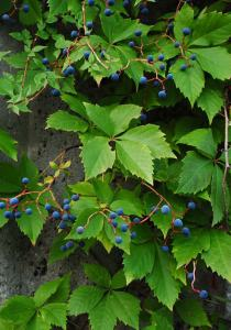 Image of Virginia creeper vine in Tait Moring's garden