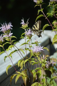 Image of Tiger swallowtail on wild bergamot