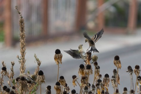 Image of sparrows on seedheads