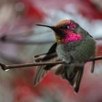 Image of Anna's hummingbird_Kelly Brenner