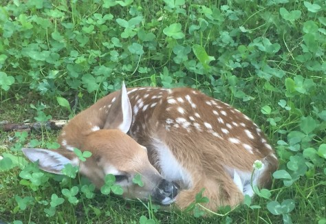 Image of baby deer by Sally Fekety