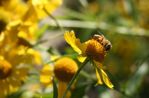 Image of Cropped Honeybee_on_Helenium_Autumnale