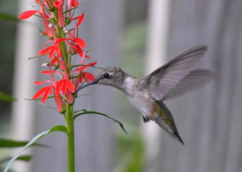 Image of hummingbird on cardinal flower 2