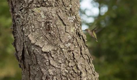 Image of hummingbird_Genberg garden