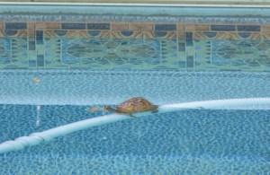 Image of box turtle in swimming pool
