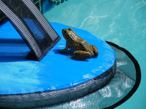 Image of frog on Frog Log in swimming pool