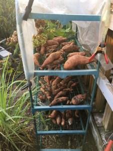 Image of sweet potatoes