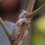 Image of gray tree frog