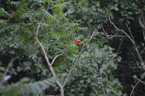 Image of scarlet tanager