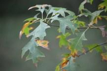 Image of oak leaves