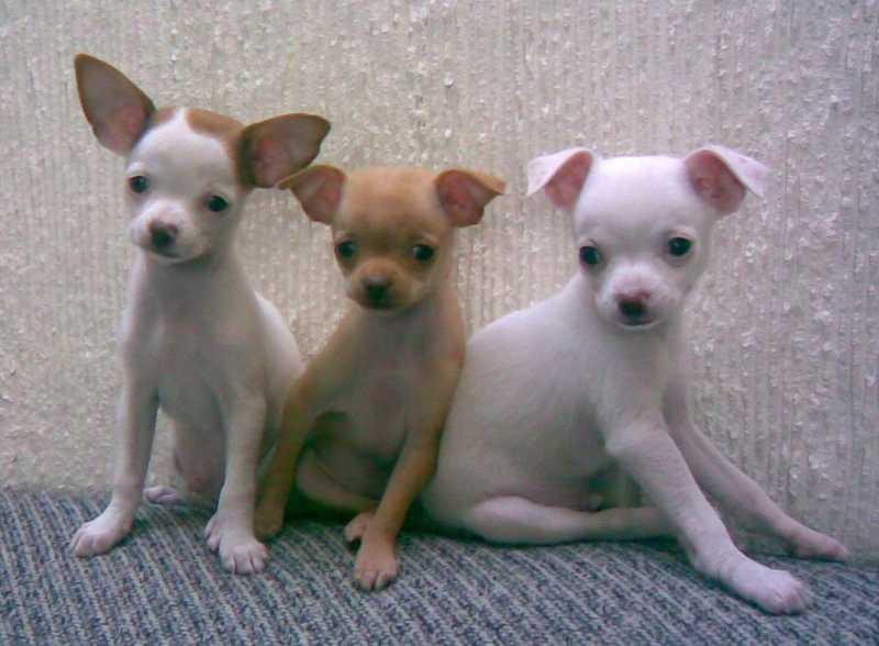 kleine hunderassen erfreuen sich einer besonderen beliebtheit hunde in not hundevermittlung. Black Bedroom Furniture Sets. Home Design Ideas