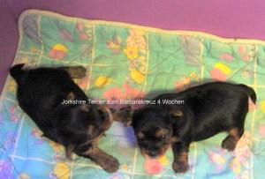 Yorkshire Terrier zum Barbarakreuz Welpen 4 Wochen alt