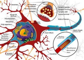 Diagram of a neuron – Wikipedia