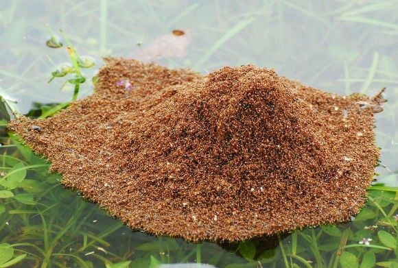 20130120211212_fire_ants_become_navy_ants
