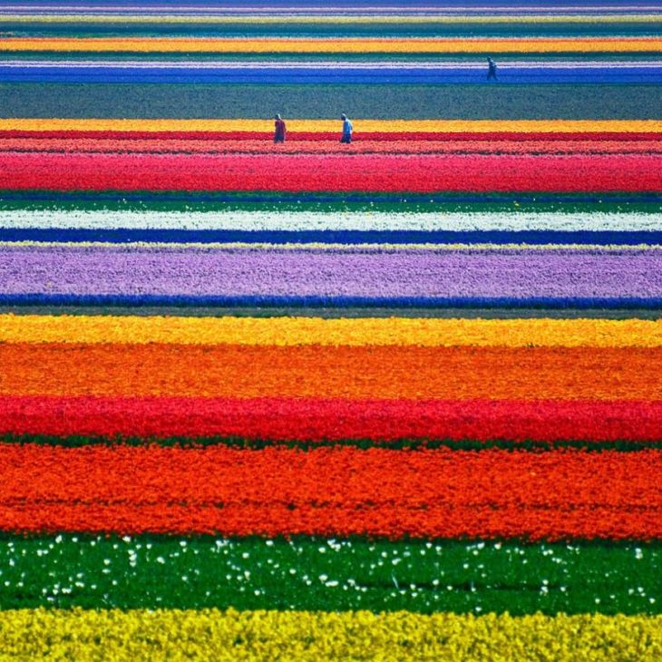 19- Tulip Fields (Netherlands)