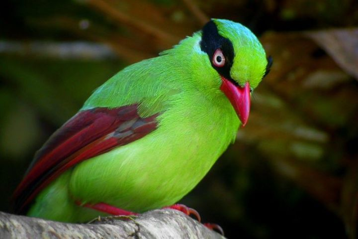 short-tailed-green-magpie