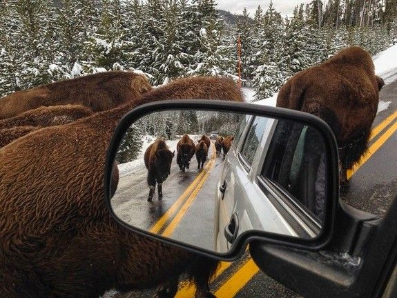 bison-yellowstone-national-park