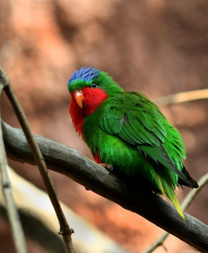 Blue-crowned Lory