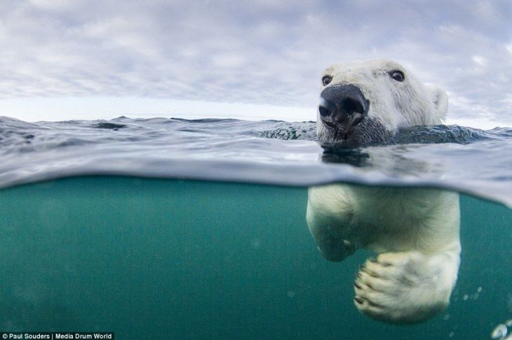 239BB65200000578-2854797-Aquatic_Polar_bears_are_actually_very_good_swimmers_with_adaptat-101_1417359888691