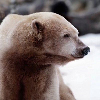 Polar-and-Grizzly-Hybrid