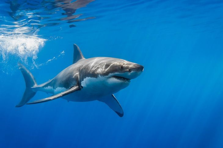 great-white-shark-with-sun-rays