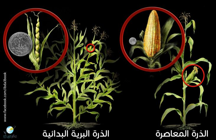 corn-and-teosinte
