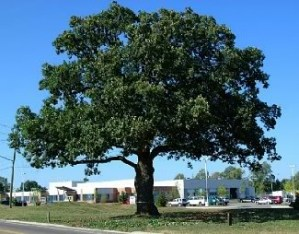 Oakville to plant 500 Trees to Celebrate National Tree Day