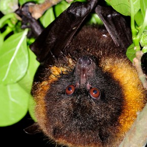 Endangered Taiwan Flying-Fox Pops Up In Hualien